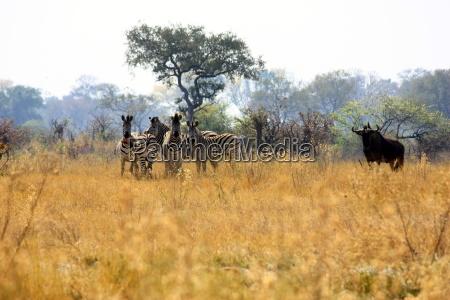 zebras in the okavango delta