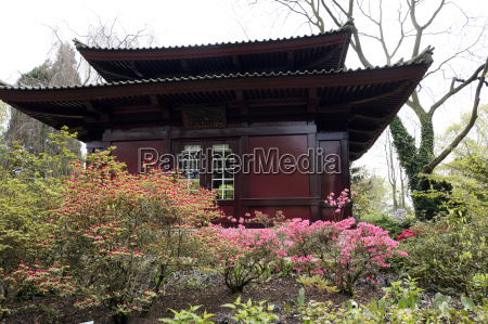flowering japanese azalea in front of