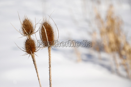thistle plant in winter