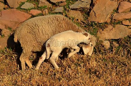lamb and mom