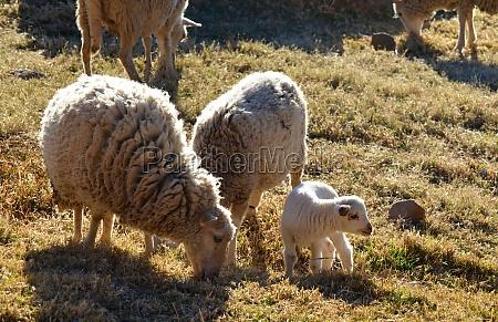lamb and parents