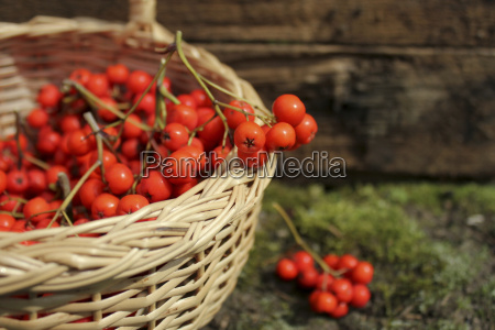ripe bunches of rowan berries in