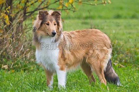 dogs british puppies whelps pupies