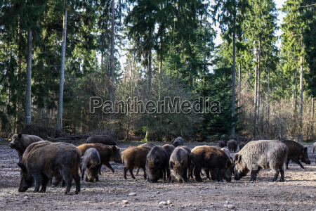 wild boar in trappenkamp 04