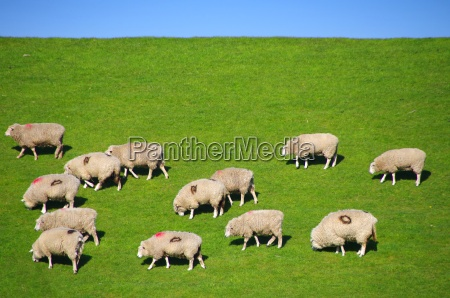 sheep on the dike with road