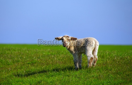 lamb on the dike in westerhever