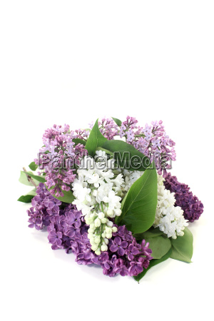 colorful lilac blossoms
