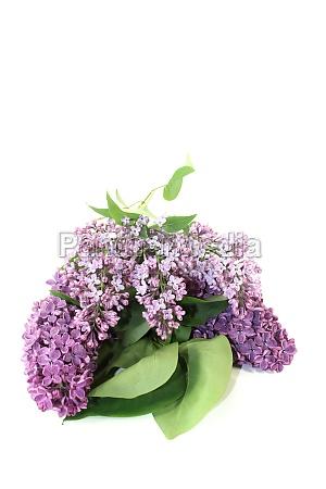 fresh purple lilac blossoms