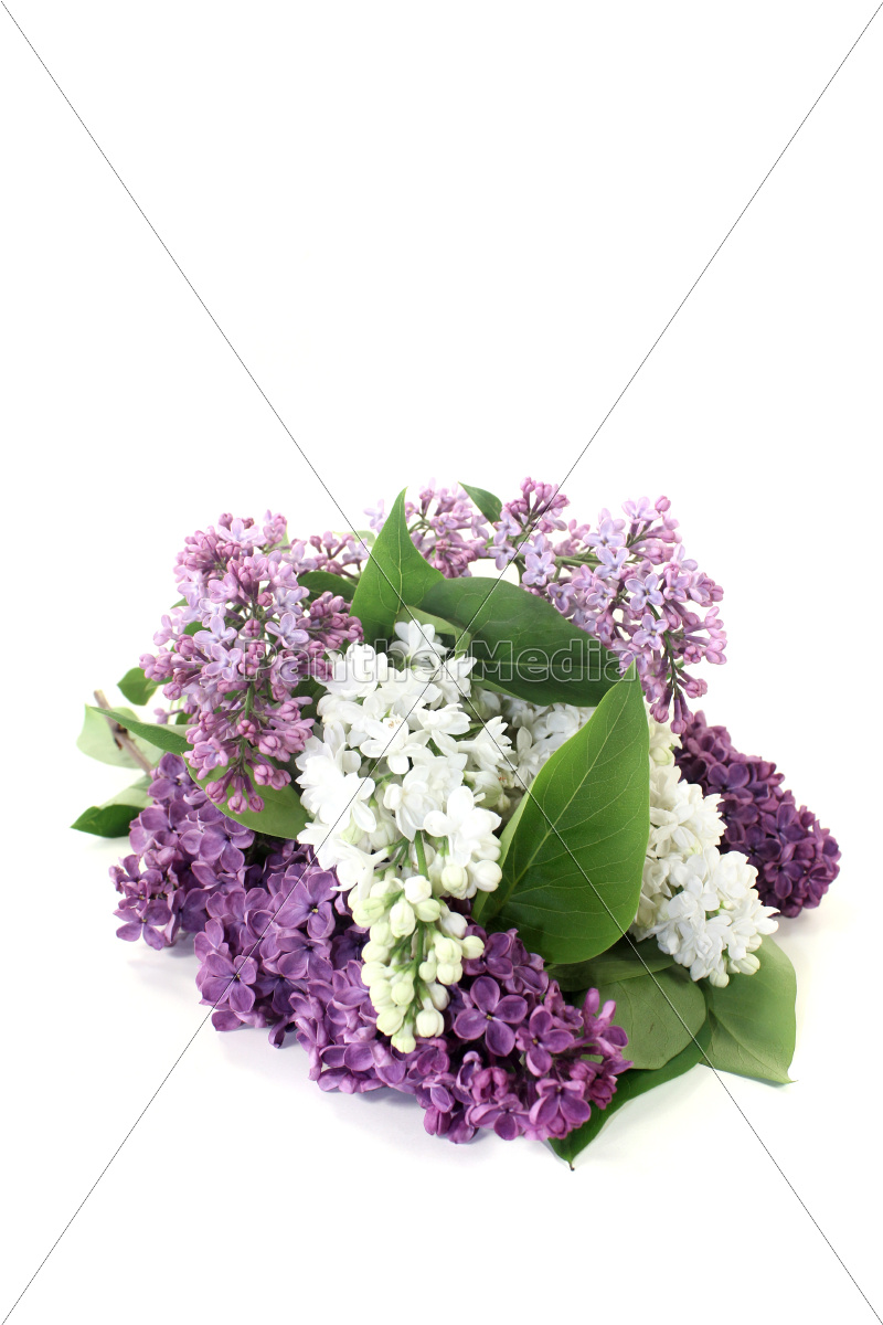 colorful, lilac, blossoms - 11486209