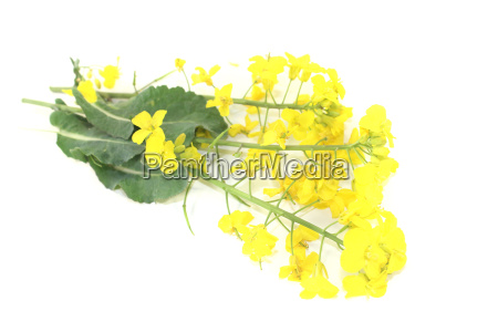 fresh yellow rape flowers