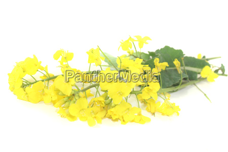 fresh rapeseed blossoms