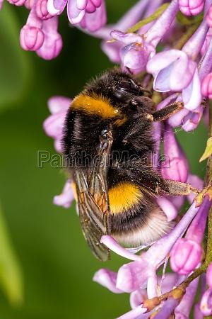 blumblebee