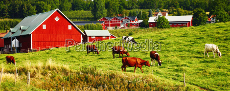 old farm with grazing cows