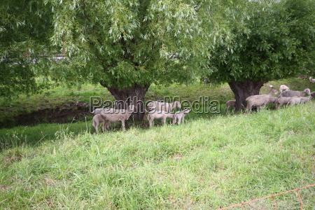 animal animals sheep easter lambs sheep
