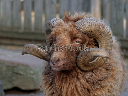 ram with curved horns