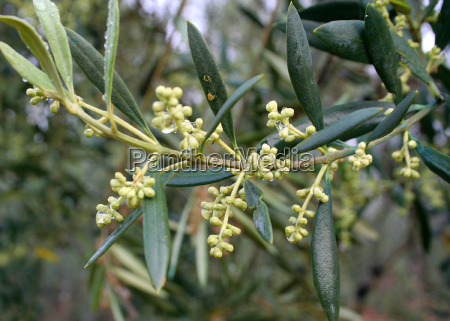 olives, in, the, rain - 11633947