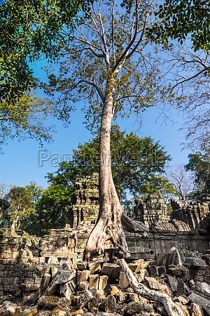 tree at ta prohm cambodia