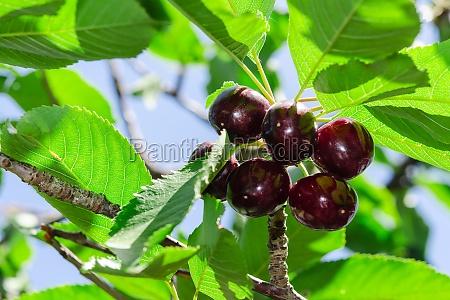 ripe juicy vinous cherry big berries