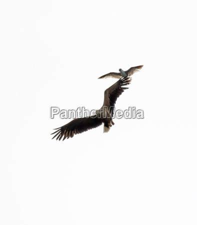 white tailed sea eagle harrassed by