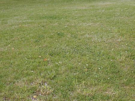 meadow grass