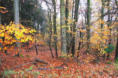 mixed forest with colored beech leavesrn
