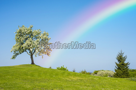 blooming fruit tree with rainbow