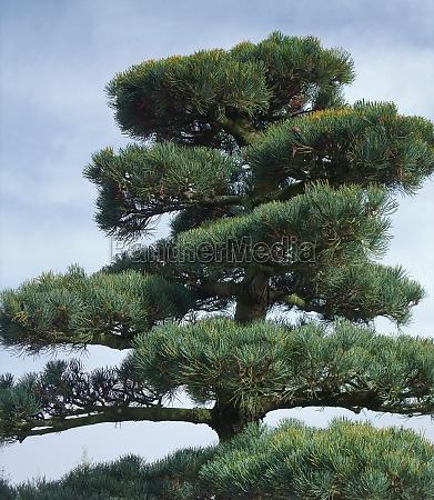 big bonsai detail