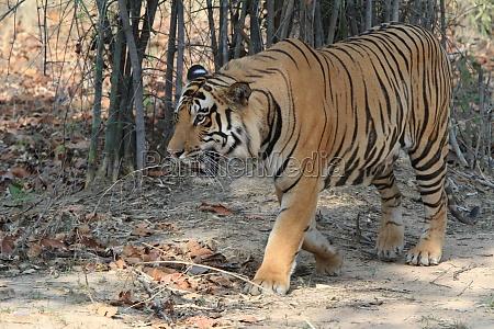 indian tiger in bandhavgarh national park