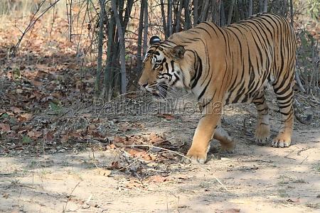 indian tiger in the bandhavgarh national