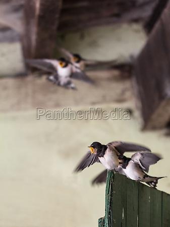 young swallows at bickering