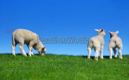 lambs on the dike on the