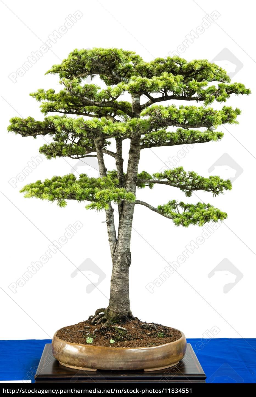 Cedar As Bonsai Tree Stock Photo 11834551 Panthermedia Stock Agency