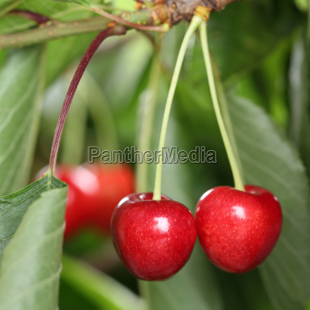 cherries on a cherry tree in
