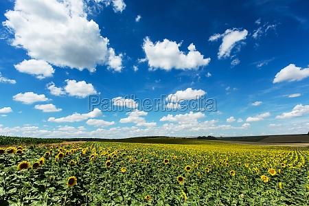 sunflower field with cumulus clouds