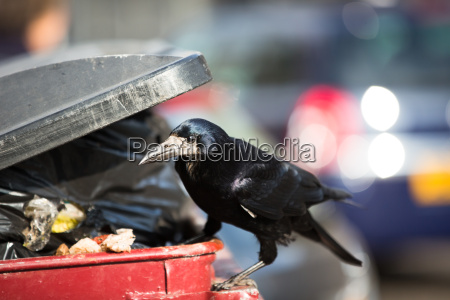 raven feeding on rubbish in a