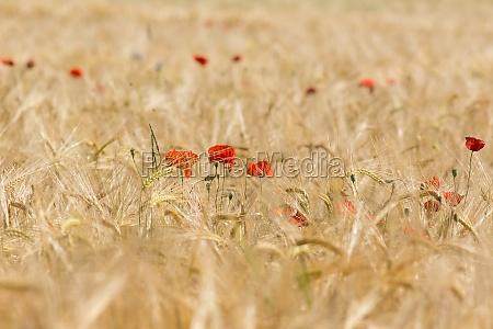 poppy in cornfield