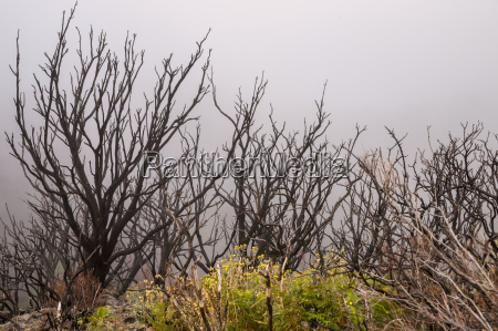burned forest in the mist