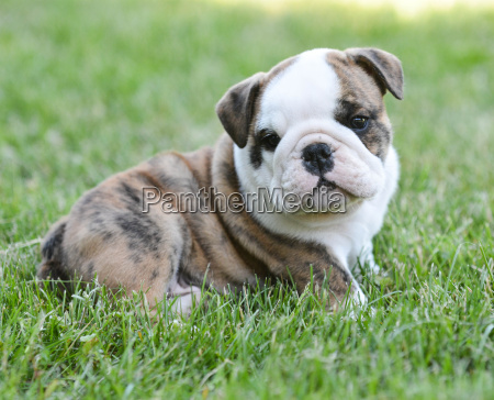 Cute Puppy Royalty Free Image 11908023 Panthermedia Stock Agency
