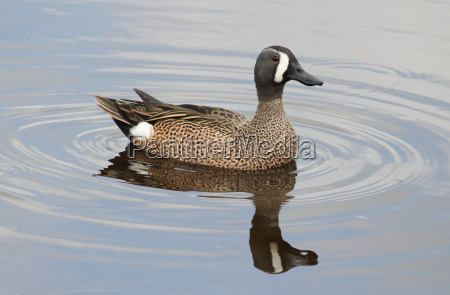 blue winged teal