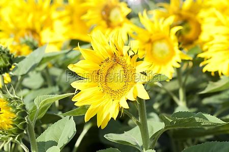 grunge photo of blooming sunflower field