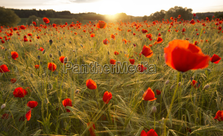 blooming poppy field in the evening