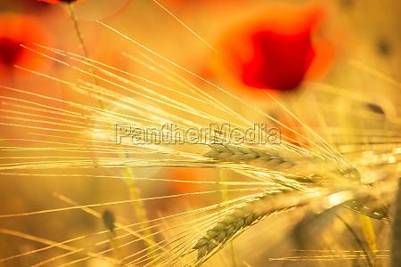 flowering poppy field in the evening