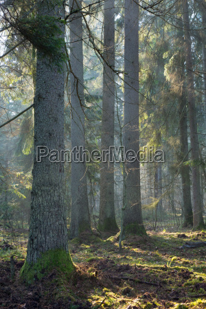 sunbeam entering coniferous stand old