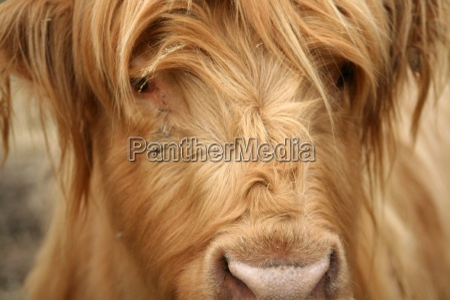 highland cattle offspring