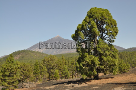 canary pines and pico del teide