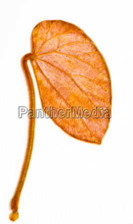 gold leaf bauhinia was discovered in