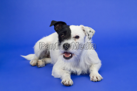 black and white dog against a