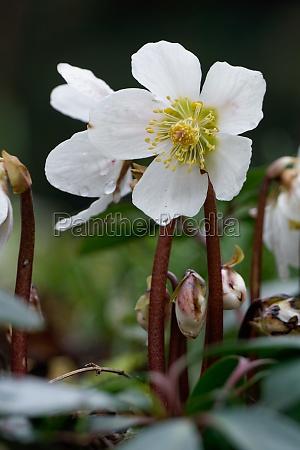 christrose helleborus niger nieswurz snow rose