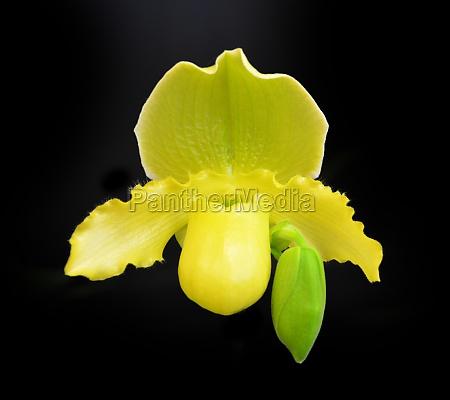 orchid paphiopedilum insigne var sanderae