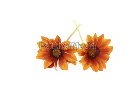 orange brown mittagsgold